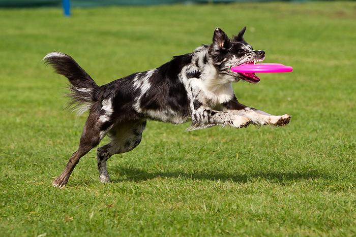 Avanti - Dogfrisbee