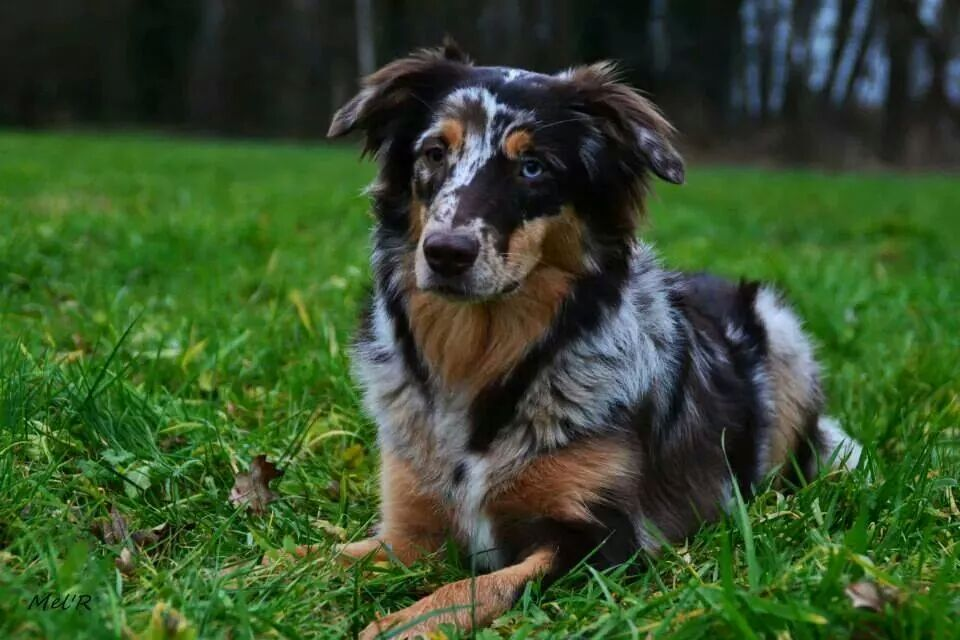 Cassy - dark red-merle