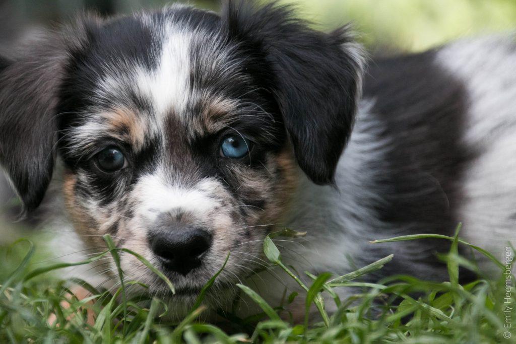 Freckles - blue-merle Rüde